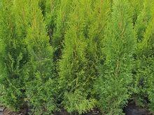 Elupuud Smaragd, potitaimed 90-105cm